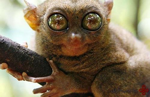 میمون شبگرد هندی (2)
