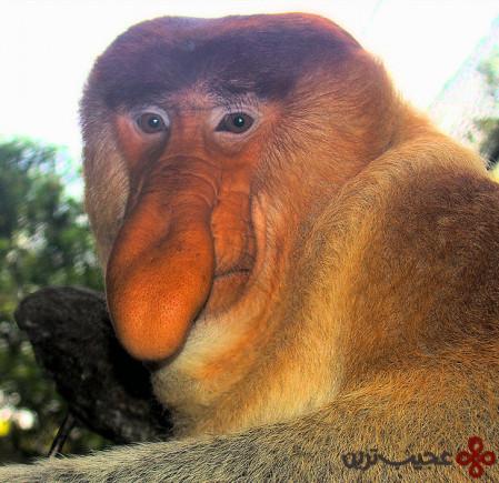 میمون پوزه دراز (1)