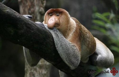 میمون پوزه دراز (2)