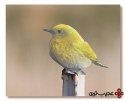 پرنده زرد