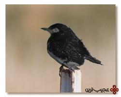 پرنده سیاه
