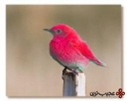 پرنده قرمز