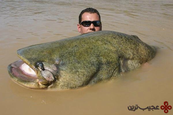 گربه ماهی ولش