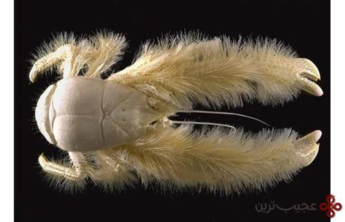 یتی خرچنگ