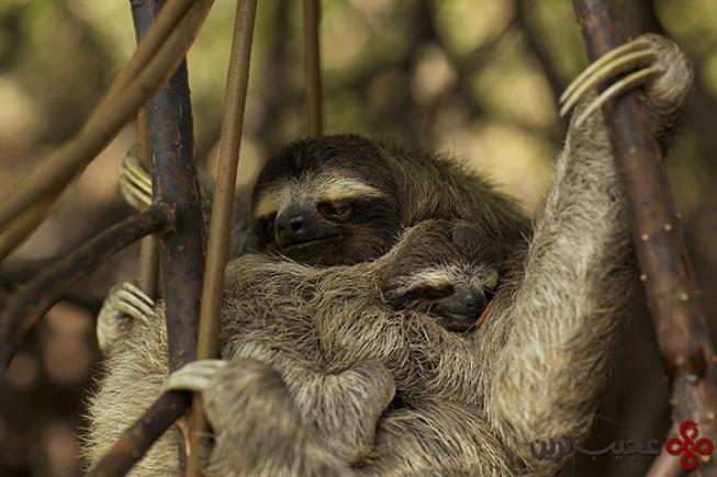 a pygmy three toed sloth
