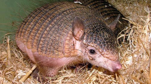 Cover Pink Fairy Armadillo