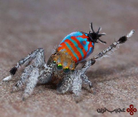 Maratus_jactatus_male_photo