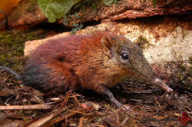 roveroelephant shrew