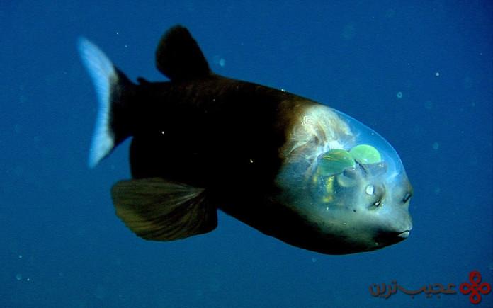 The-barreleye-fish