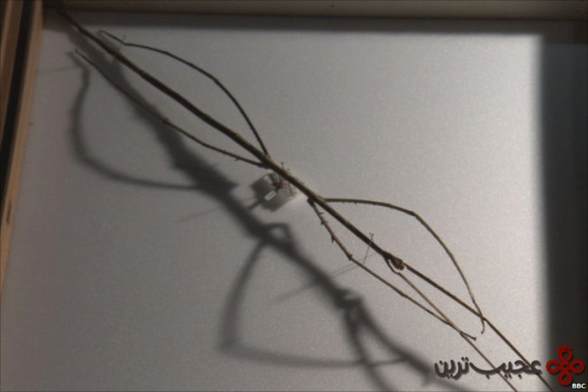the longest stick insect