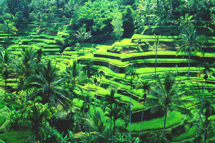 cover bali rice terraces