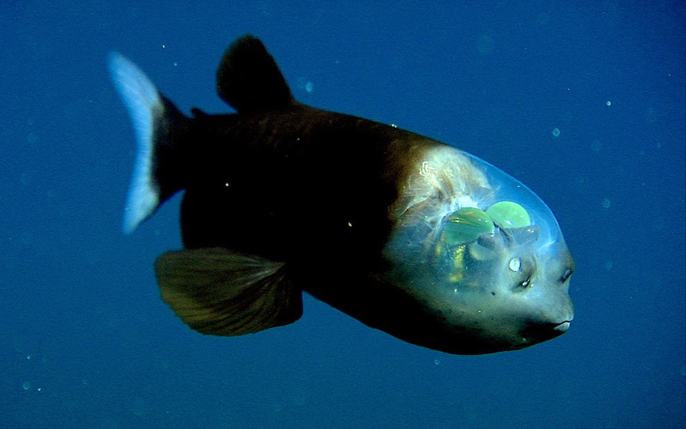 cover-The-barreleye-fish