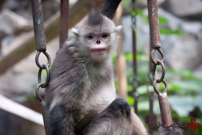 golden-snub-nosed-monkey
