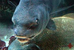 ماهی های استوانه ای