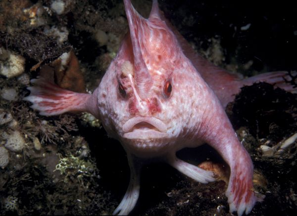 Cover new-handfish-species-pink