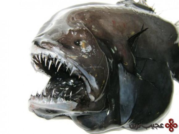 greenland-fish-longhead-dreamer-anglerfish