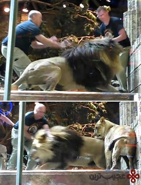lion-trainer