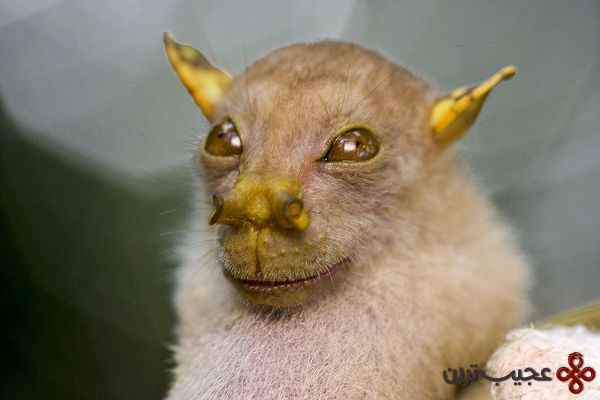 papua-new-guinea-new-species-bat