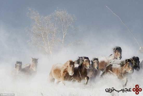 اسب های وحشیمغولستان