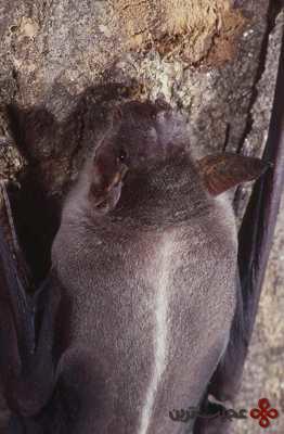 خفاش ماهی گیر