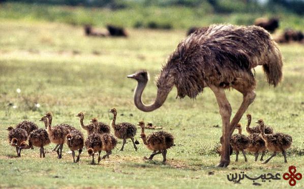 شترمرغ آفریقایی