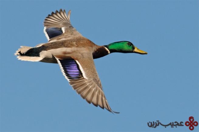 مالارد اردک وحشی