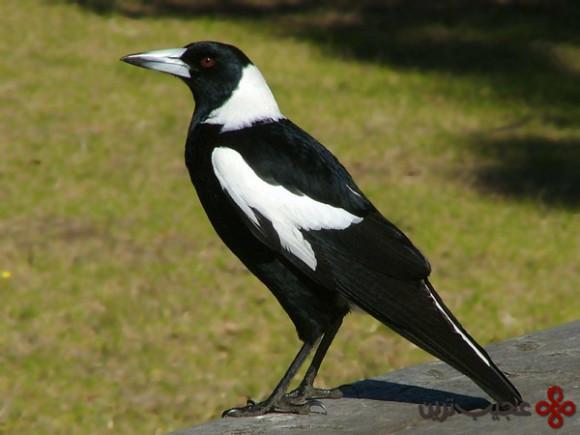 کلاغ استرالیایی