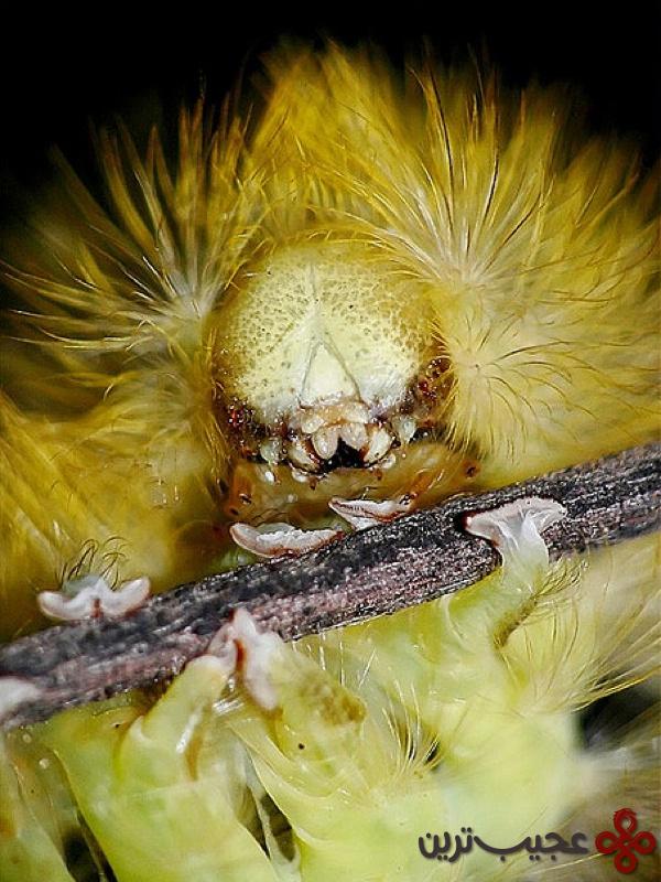dasychira pudibunda caterpillar