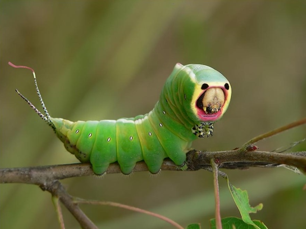 cover puss moth caterpillar