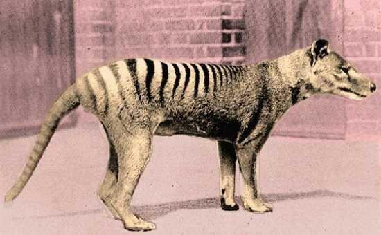 cover thylacine