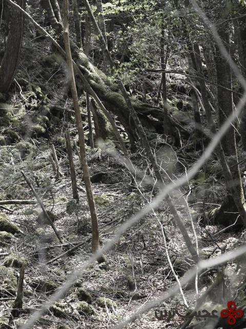 جنگل آوکیگار (aokigahara)، ژاپن