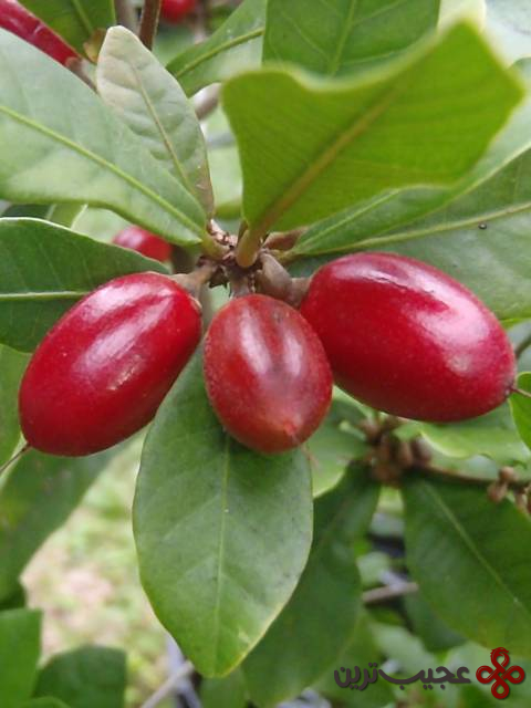 میوهٔ معجزه