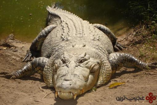 تمساح آب شور