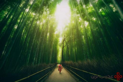جنگل بامبو 1