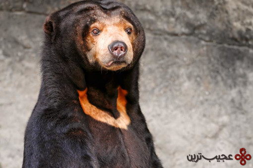 خرس خورشیدی مالایا