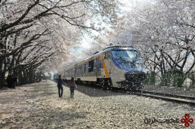 فستیوال شکوفه گیلاس 1