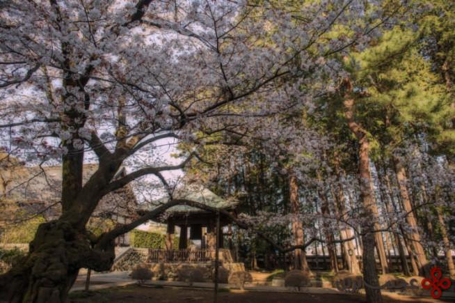 فستیوال شکوفه گیلاس 3