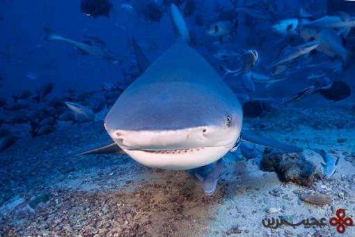 گاوکوسه (bull shark)