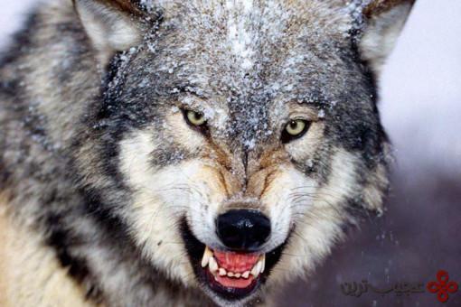 گرگ خاکستری