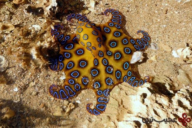 اختاپوس حلقه آبی (blue ringed octopus)