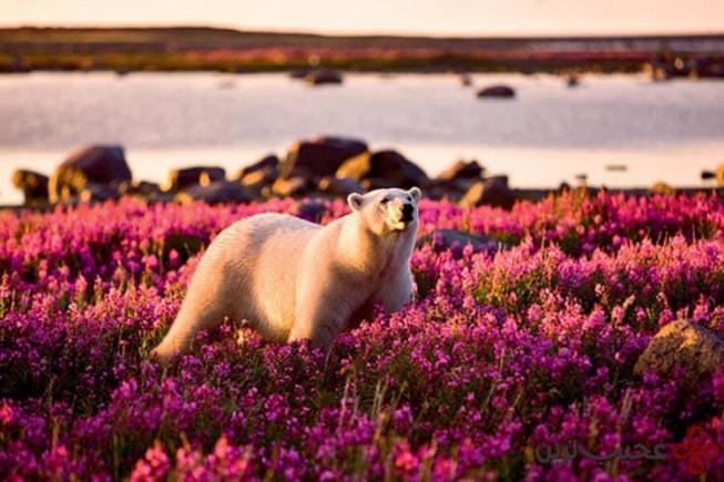 تابستان قطبی