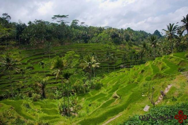 تراس برنج تِگالالانگ (tegalalang)، بالی، اندونزی