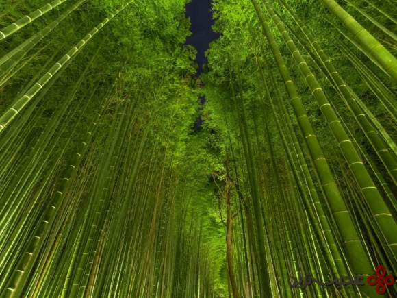 جنگل بامبو (bamboo)، کیوتو، ژاپن