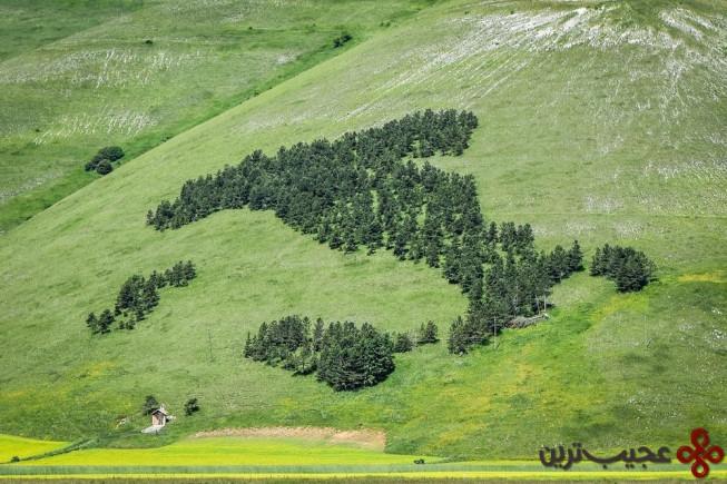جنگل کاج به شکل ایتالیا