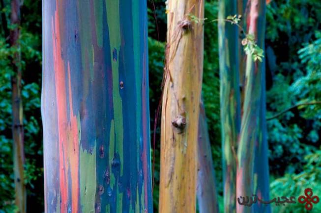 درختهای رنگینکمان
