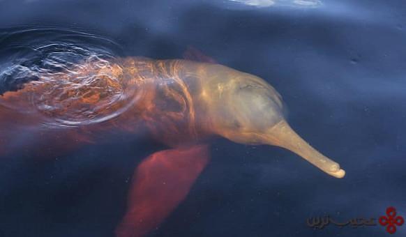 دلفین رودخانه ای آمازون