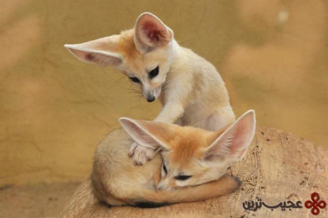 روباههای فنک (fennec)
