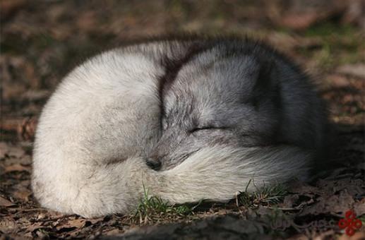 روباههای قطب شمال