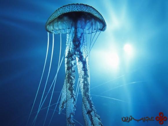 عروس دریایی (box jellyfish)
