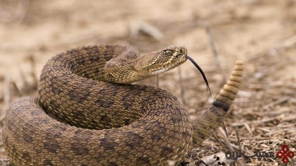 مار زنگی (rattlesnake)